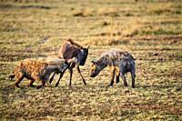 Spotted hyena (Crocuta crocuta) killing a young Eastern White-bearded Wildebeest (Connochaetes taurinus) Masai Mara National Reserve, Kenya.