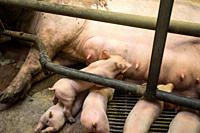 Mother pig locked in a cage with her piglets on a breeding farm animals.