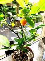 Potted orange plant near a window in a home, healthy fruit close-up.