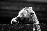 Portrait of monkey in the wild in Bali jungle, black and white portrait.