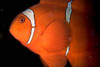 Spinecheek Anemonefish (Premnas biaculeatus, Pomacentridae Family), Sarena West dive site, Lembeh Straits, Sulawesi, Indonesia, Pacific Ocean.