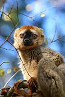 Red-fronted lemur (Eulemur rufifrons) male, Réserve Forestière de Kirindy, Kirindy Forest, Western Madagascar.
