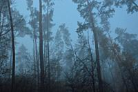 Morning fog after a night in forest.