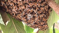 Swarm of working bees in a tree protecting the queen bee