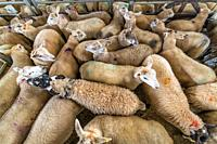 Sheep gathered to be sold at auction, Hawes, Yorkshire, UK.