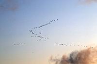 Barnacle geese migration flock gathering in Konnunsuo Lappeenranta, Finland.