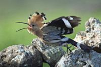 Eurasian hoopoe (Upupa epops). Uga. Yaiza. Lanzarote. Canary Islands. Spain.