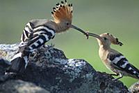 Eurasian hoopoes (Upupa epops). Male giving food to the female. Uga. Yaiza. Lanzarote. Canary Islands. Spain.
