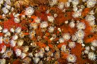 Sandalled anemone (Actinothoe sphyrodeta) over Sponge (Phorbas fictitius). Eastern Atlantic. Galicia. Spain. Europe.