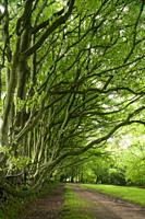 Beech trees in summer lining Drove Road in the Quantock Hills, Somerset, England.