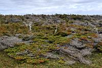 Coastal forest, shaped by wind on Cape St. George, Newfoundland & Labrador, Canada.