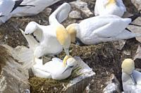 Northern Gannet (Morus bassanus) pair mating in breeding colony, Cape St. Mary's ecological reserve, Newfoundland, Canada.