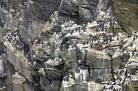 Common murre (Uria aalge) bird breeding colony on cliff, Cape St. Mary's ecological reserve, Newfoundland, Canada.