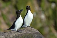 Two Razorbill (Alca torda) standing on rock, Witless bay Ecological Reserve, Newfoundland, Canada.