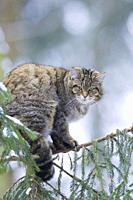 European wildcat, forest wildcat (Felis silvestris silvestris), on tree in winter, Germany.