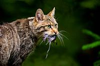 European wildcat (Felis silvestris silvestris) with rat, Bavarian Forest National Park, Bavaria, Germany.