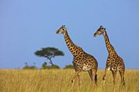 Masai giraffe (Giraffa camelopardalis tippelskirchi), two adults in savanna, Masai Mara National Reserve, Kenya, Africa.