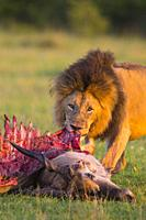 African lion (Panthera leo), male with eland kill, Masai Mara National Reserve, Kenya, Africa.