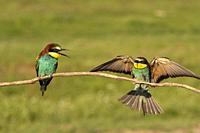 Two European bee-eater, Merops apiaster, sitting on a stick, one flying in for landing, in nice warm morning light, Csongrad, Hungary.