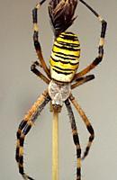 Wasp spider (Argiope bruennichi) dorsal side.