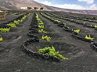 Vineyards in La Geria. Lanzarote. Canary Islands. Spain. Europe.
