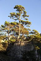 Pine tree in Los Ports mountains natural park.