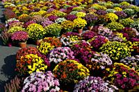 France Brive 10-2018 : Colorful Chrysanthemums plants onsale for All Saints Day. In France, the day is known as La Toussaint. Chrysanthemums, or wreat...