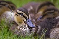 Ducklings Cuddling.