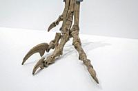 pie de velociraptor, Centro Paleontológico , Enciso, La Rioja , Spain, Europe.