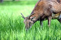 Mouflon Male Ovis Aries Musimon Eating Grass, Czech Republic