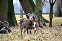 Mouflon Herd Ovis Aries Musimon in Winter Forest, Czech Republic