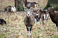 Mouflon Herd Ovis aries musimon in Winter Forest Stock Photo, Czech Republic