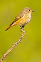 Female Redstart, Phoenicurus phoenicurus, Colirrojo Real, Castilla y León, Spain, Europe.