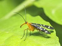 Scorpion Fly, Mumbai, Maharashtra, India.