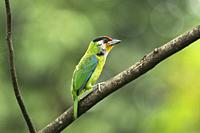 Golden-throated Barbet, Psilopogon franklinii, Mishmi Hills, Arunachal Pradesh, India.