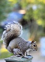 Eastern gray squirrel, sciurius carolinensis.