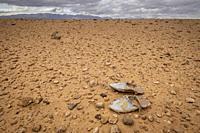 alpargata magrebi perdida en el desierto, valle del Muluya. Atlas medio. Marruecos, Africa.