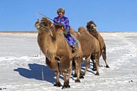 China, Inner Mongolia, Hebei Province, Zhangjiakou, Bashang Grassland, Mongol driving a camel caravan of Bactrian camel (Camelus bactrianus).