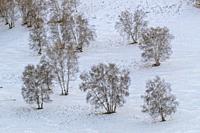 China, Inner Mongolia, Hebei Province, Zhangjiakou, Bashang Grassland, Birch forest.