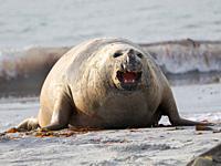 Southern elephant seal (Mirounga leonina), old bull coming ashore, after harem and breeding season on the Falkland Islands. South America, Falkland Is...