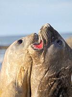 Southern elephant seal (Mirounga leonina) after harem and breeding season. Young bulls fighting and establishing pecking order. South America, Falklan...