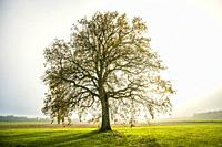 bald lime tree in fog in autumn. Germany.