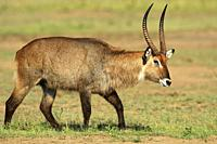 Male waterbuck walking, Masai Mara National Reserve, Kenya.