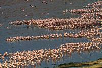 Aerial view o flamingo masses om Lake Bogoria shore. Kenya.