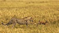 Cheetah hunting Thomson´s Gazelle.