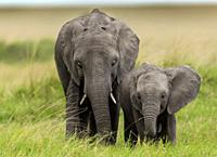 African elephant youngsters. Masai Mara National Reserve, Kenya.