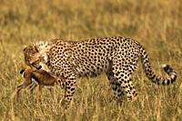 Cheetah smelling a Thomson´s Gazelle.