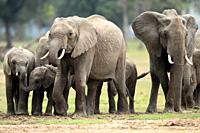 Elephant Calves can easily slip between the adult legs to find a place for themselves Adult elephants can consume upto 200 litres of water in dry weat...