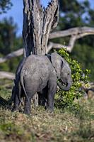 African Elephant baby feeding on bushes in OL Pejeta, Laikipia.