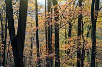 Vibrant fall colors in Pisgah National Forest, Brevard, North Carolina, USA.